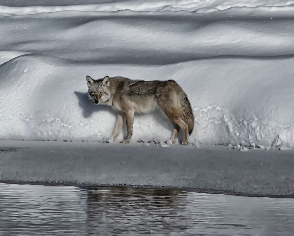 COYOTE LOOK OF HUNGER