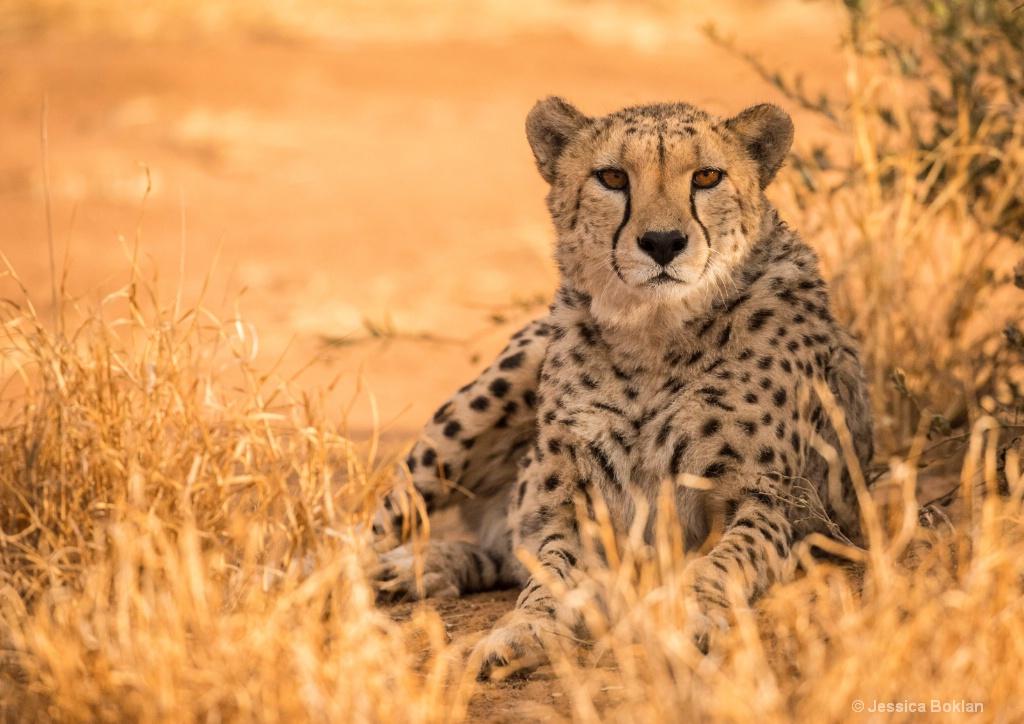 Cheetah Relaxing
