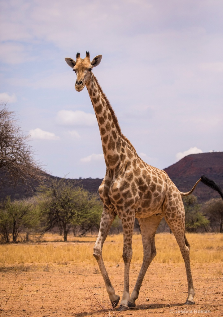 Giraffe Passing