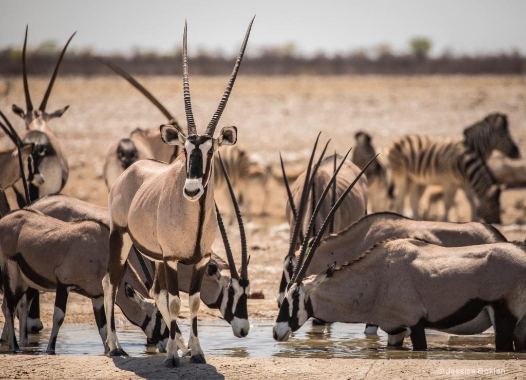 Oryx Gathering