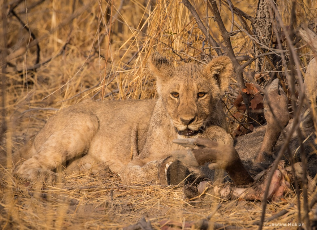 Cub with Wildebeest Kill