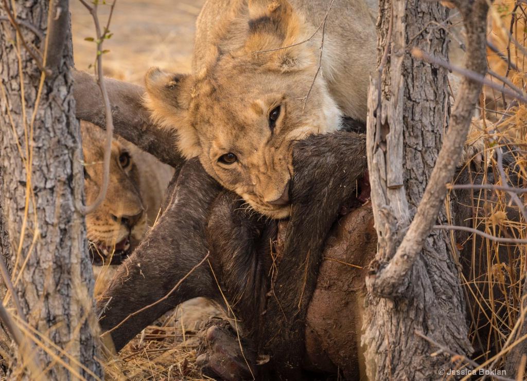Cubs Devouring Wildebeest Kill
