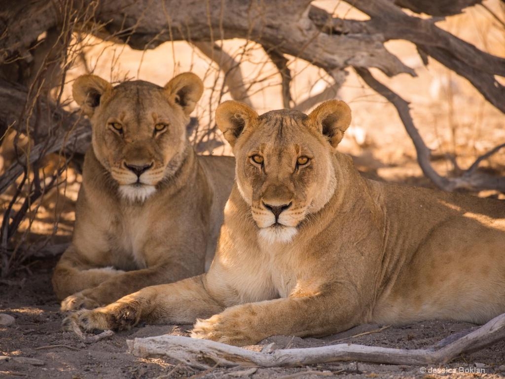 Resting Lionesses
