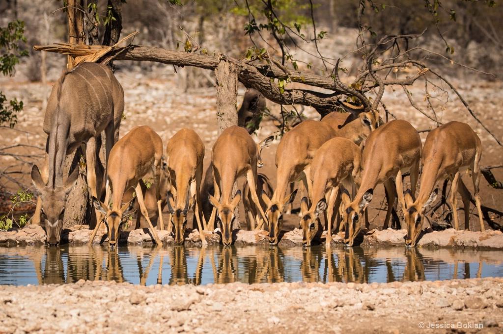 Kudu with Black-Faced Impalas