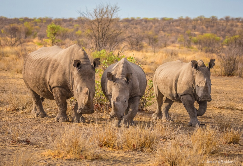 White Rhino Female with Own and Adopted Youngster