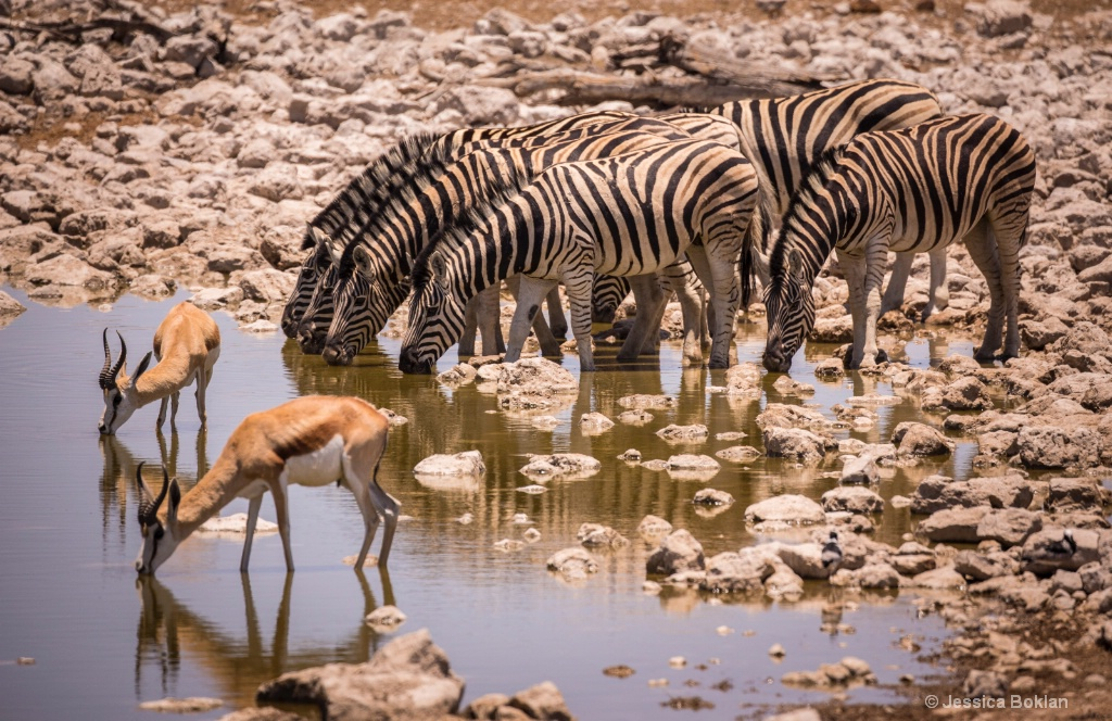 Drinking Zebra and Springbok