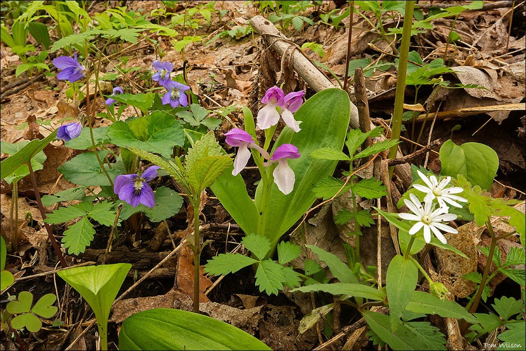 Violets, Showy Orchid, Star Chickweed