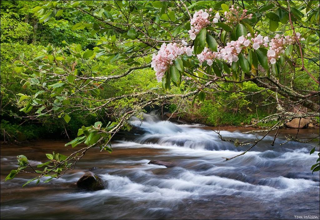Mountain Laurel on Santeetlah Creek