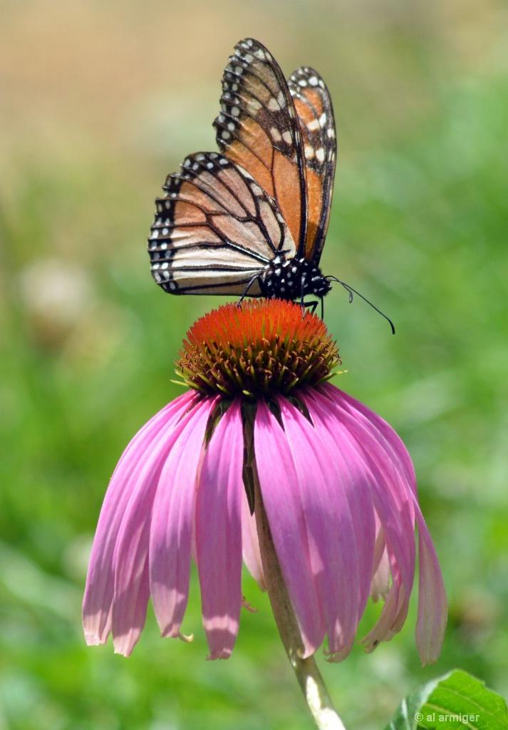 DSC 8778 Monarch Butterfly on Drooping Flower.