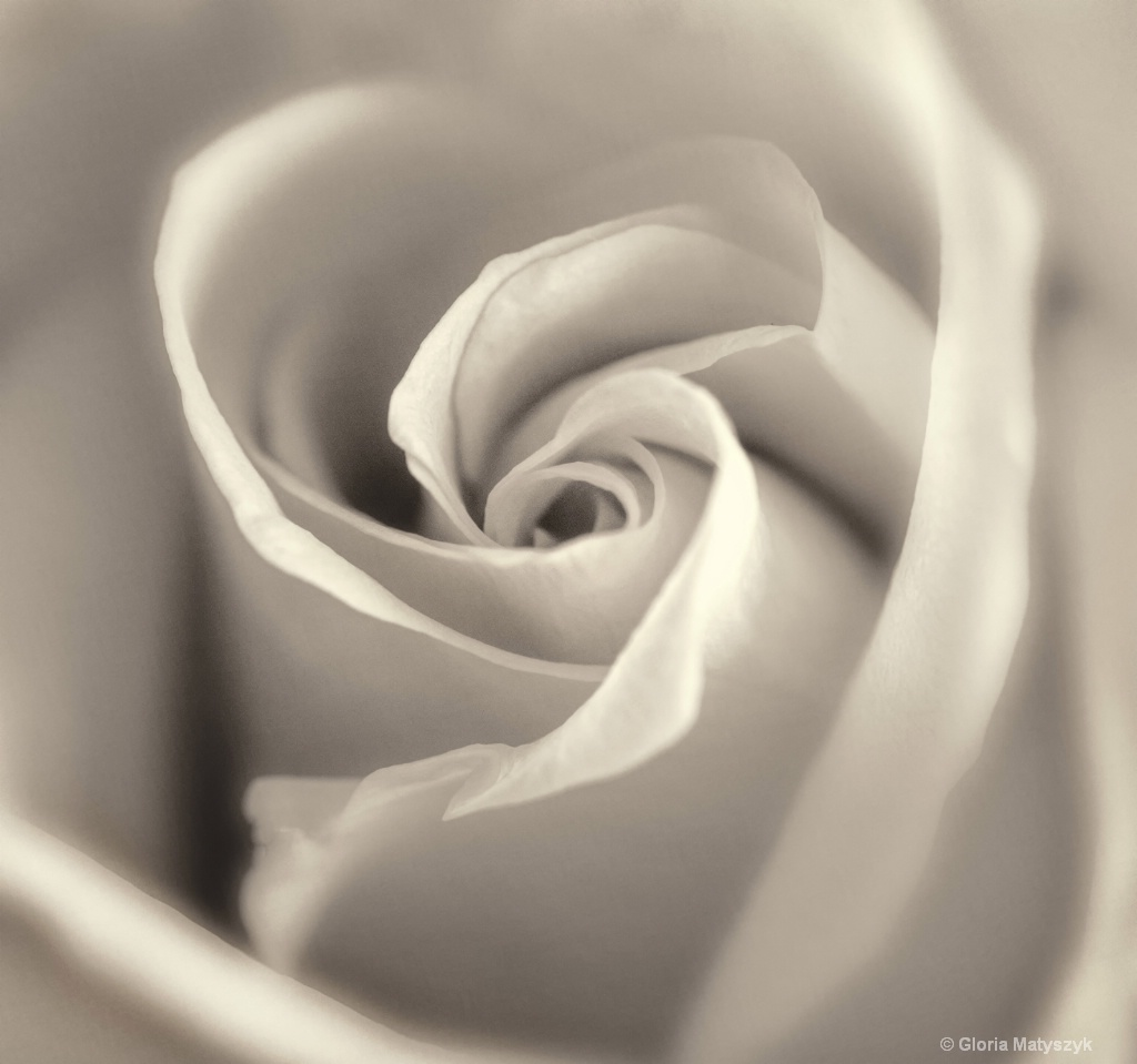 Rose in B&W