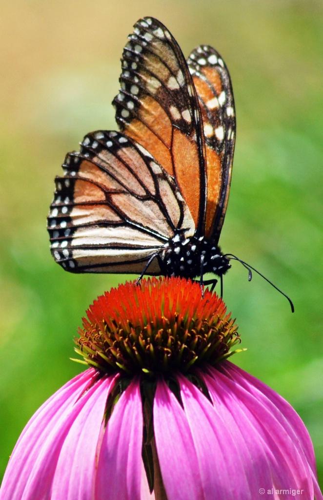 DSC 8778 Monarch Butterfly