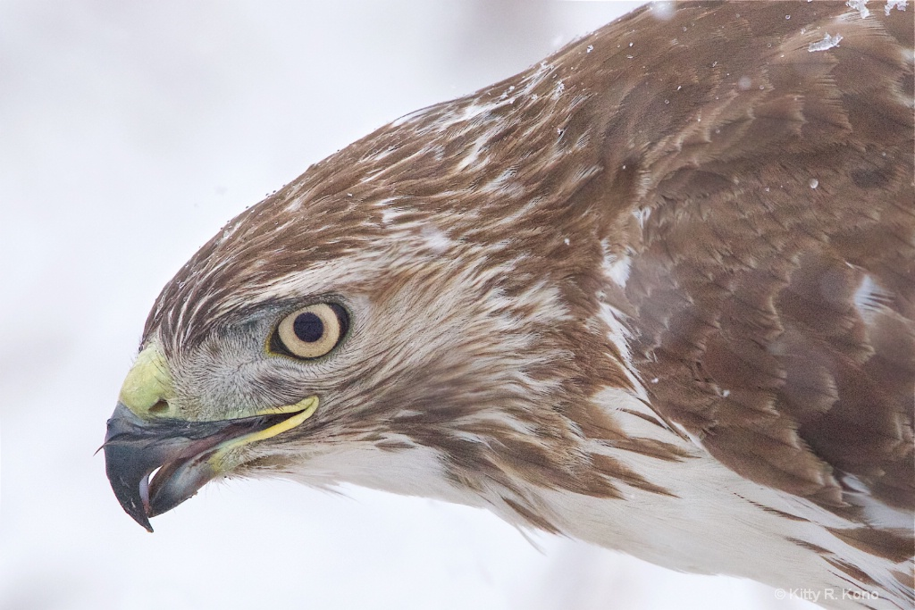 Face of the Red Tail Hawk