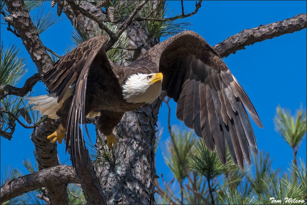 Female Bald Eagle Flying