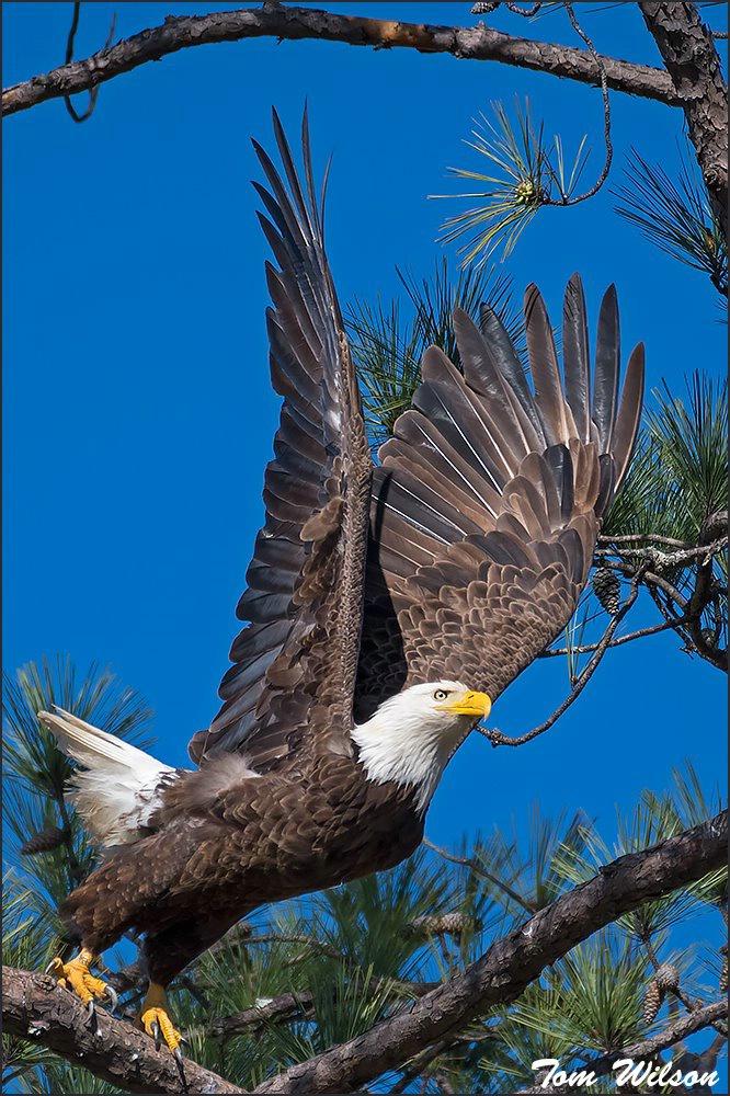 Female Bald Eagle Launch