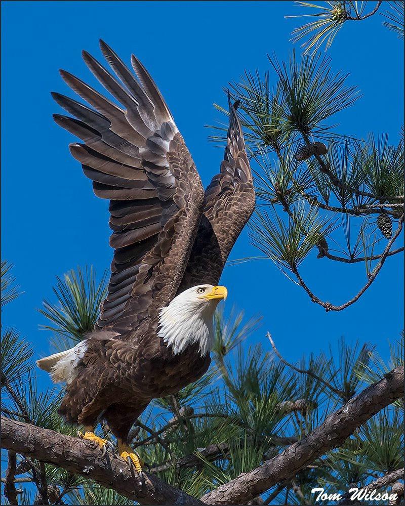 Female Bald Eagle Pre-Launch