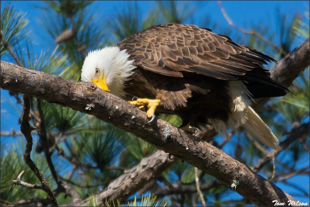 Female Bald Eagle Feaking