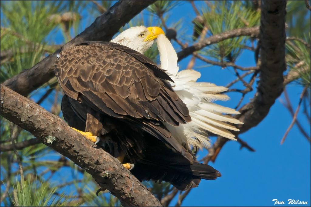 Female Bald Eagle Preening
