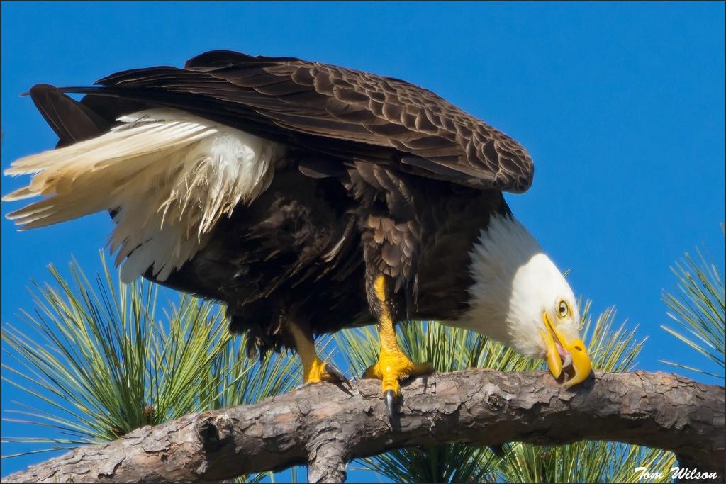 Male Bald Eagle Feaking