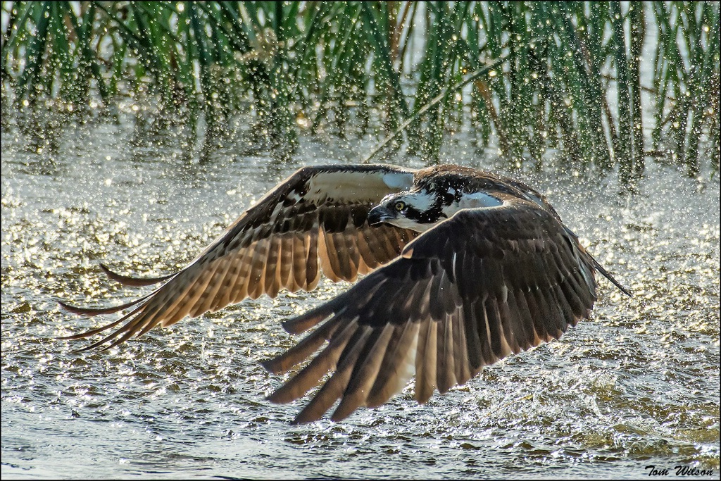 Ospreys miss too.