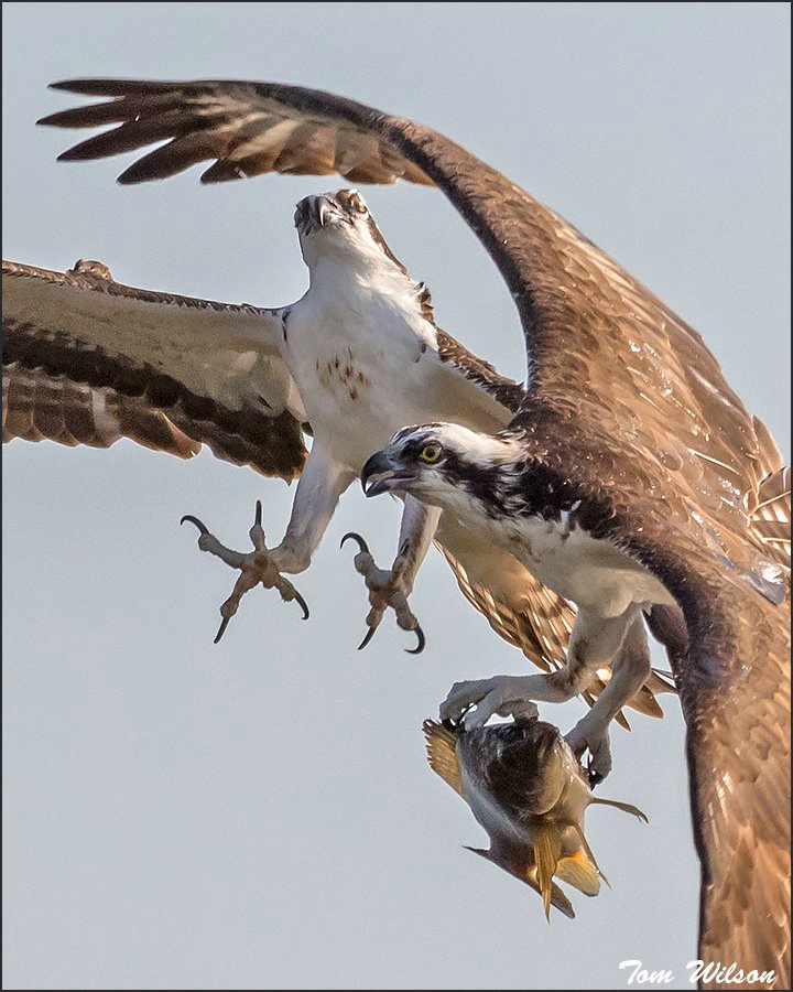 Osprey conflict over fish