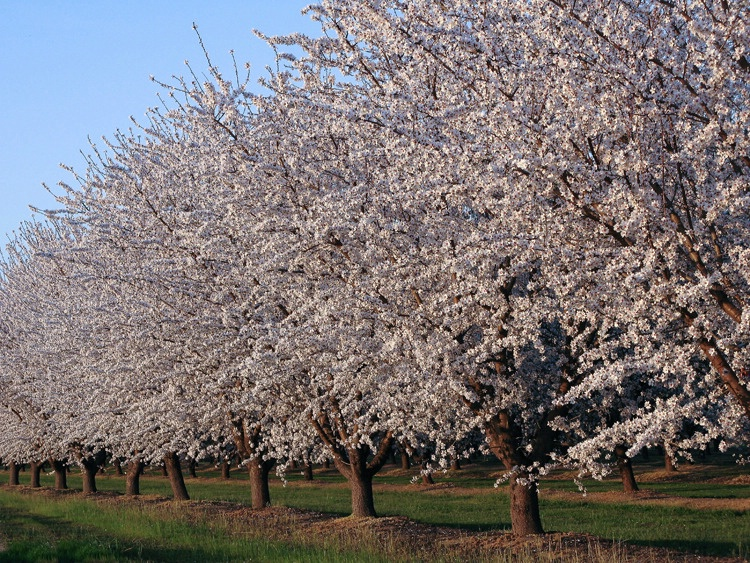 Spring Blossoms Fresno, CA