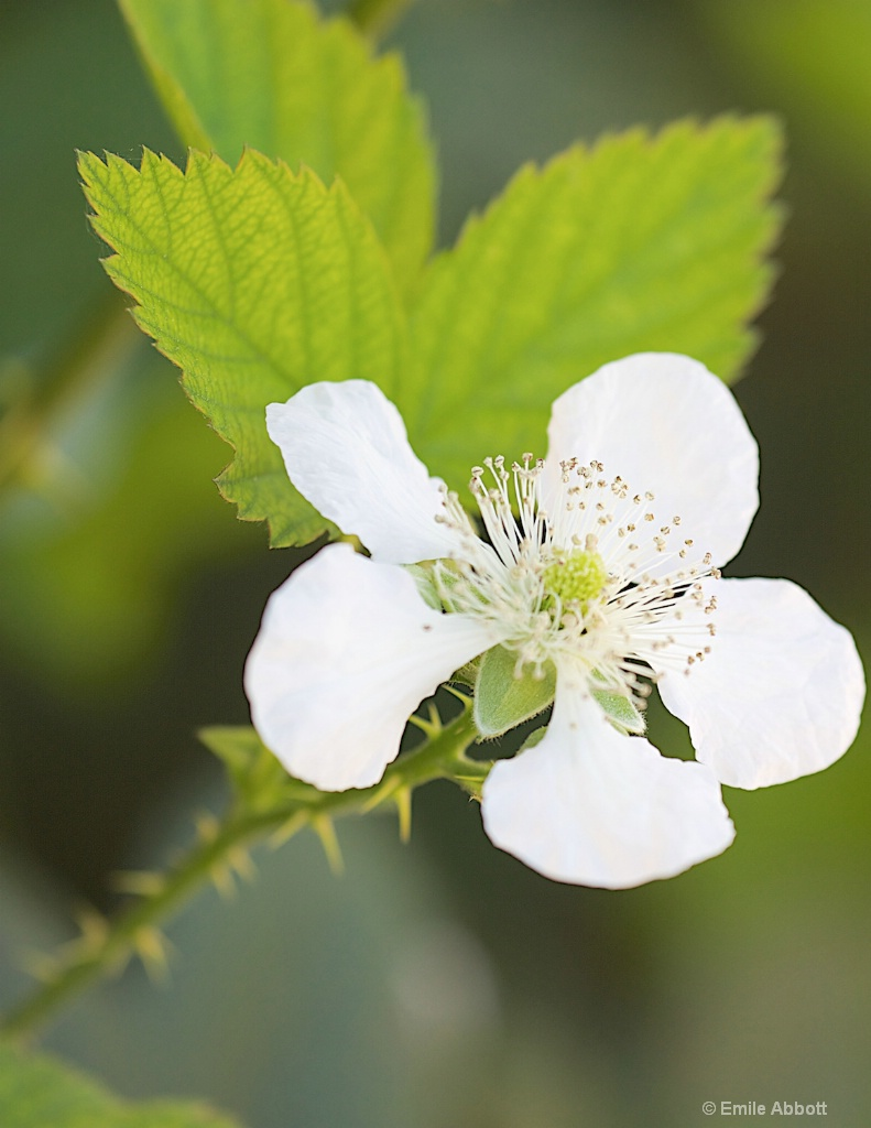 Blackberry flower Macro