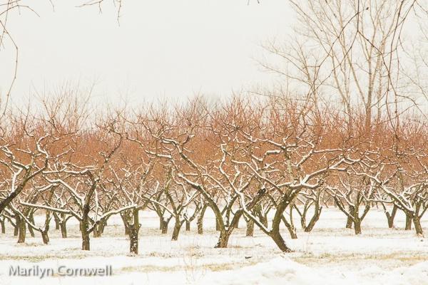 Winter Orchard in Niagara