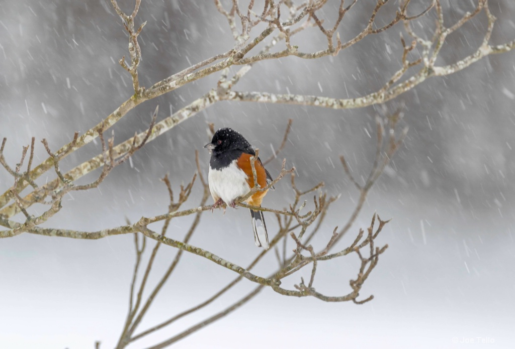 Towee in Snow