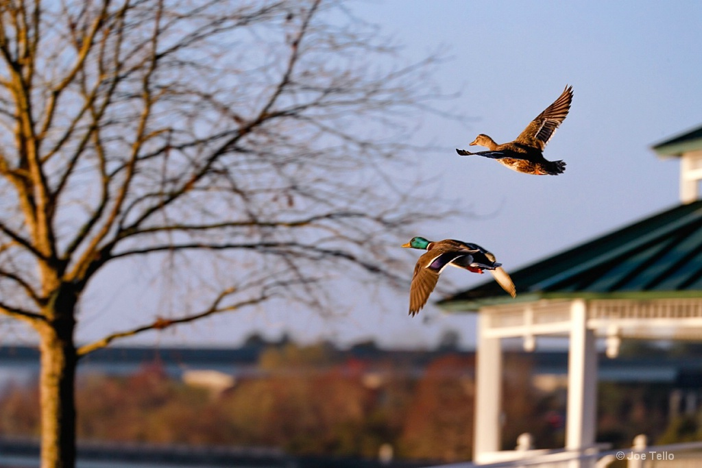 Ducks Fly By