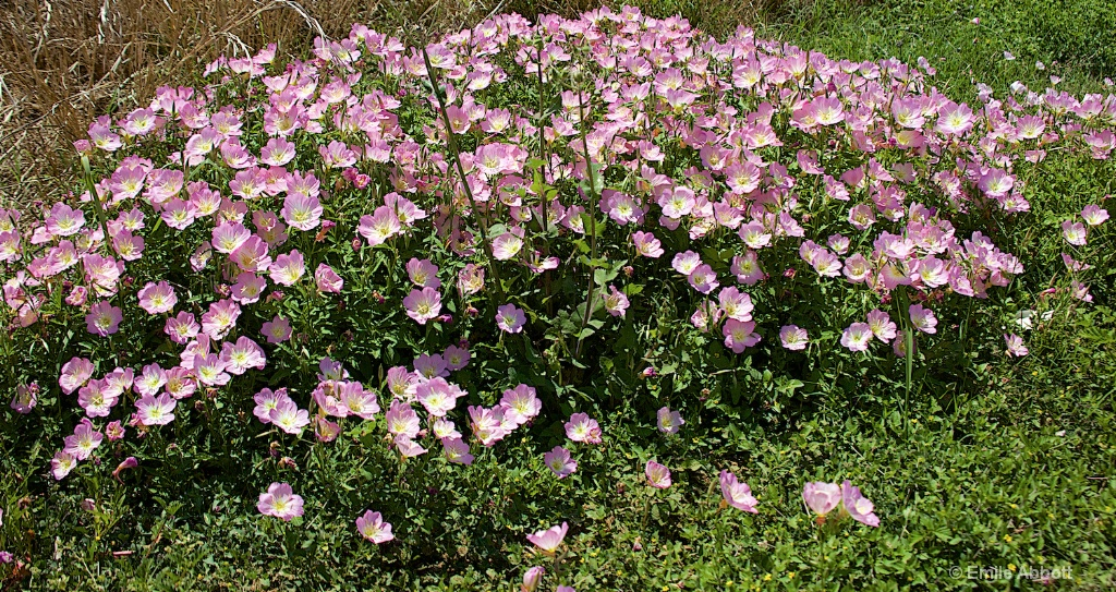 Patch Pink Evening Primrose