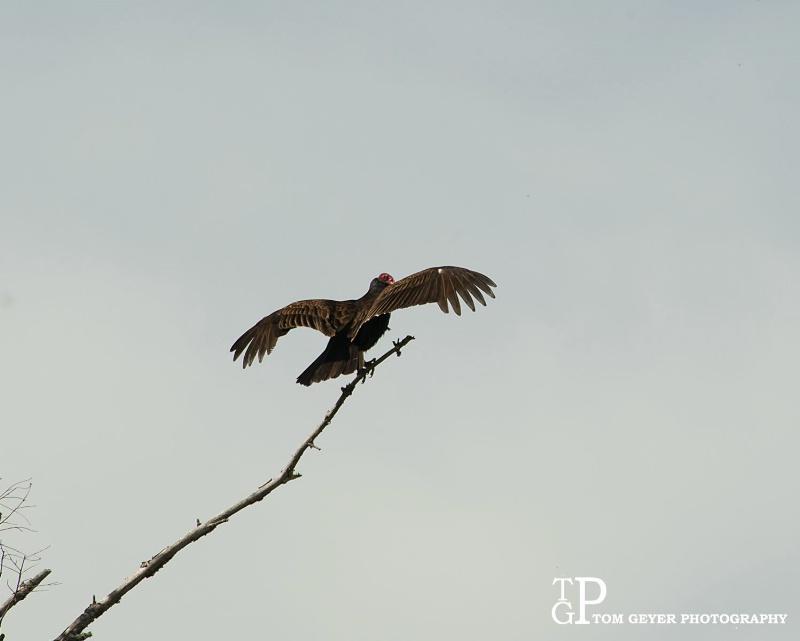 Turkey Vulture - Napa Valley