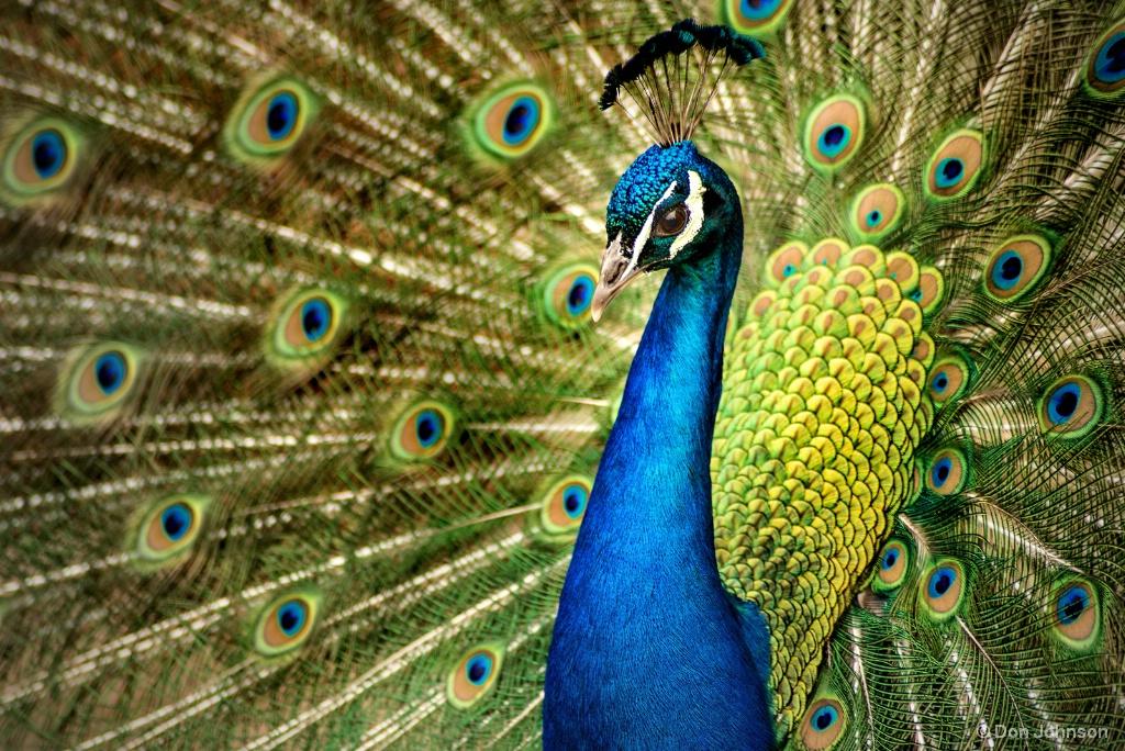 Peacock Display 4-22-17 799