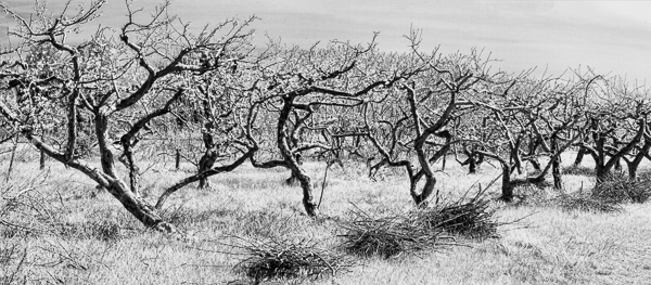 Wabi-Sabi Orchard - I