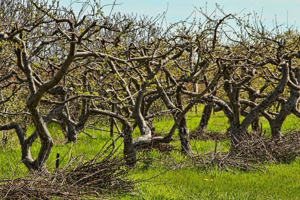 Wabi-Sabi Orchard - II