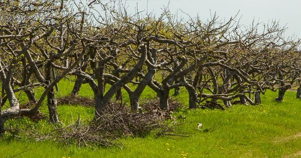 Wabi-Sabi Orchard - III