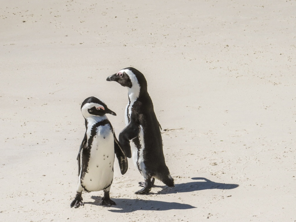 Hey, want to dance?  ... African Penguins