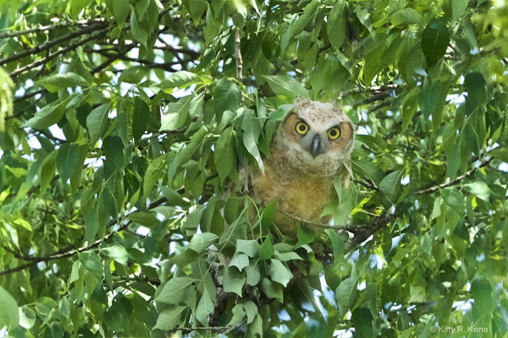Owlet Through the Leaves