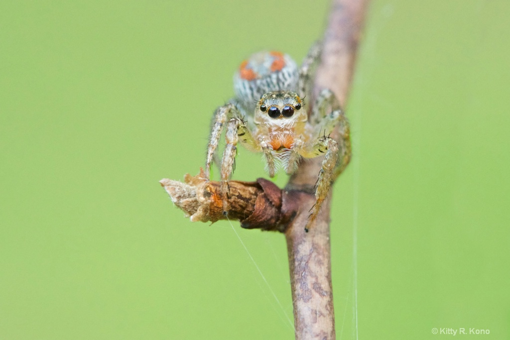 Pretty Little Orange Jumping Spider