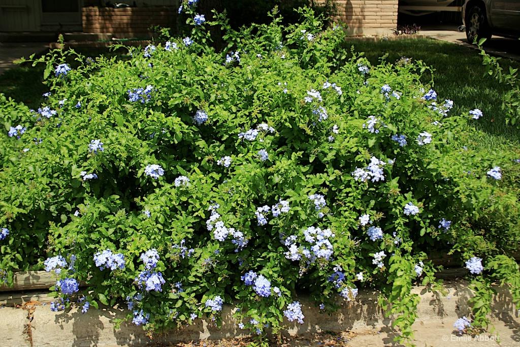 Plumbago bush