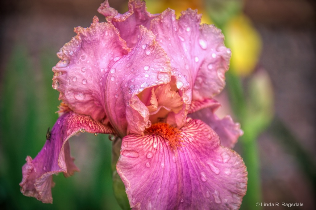 Raindrops on Iris