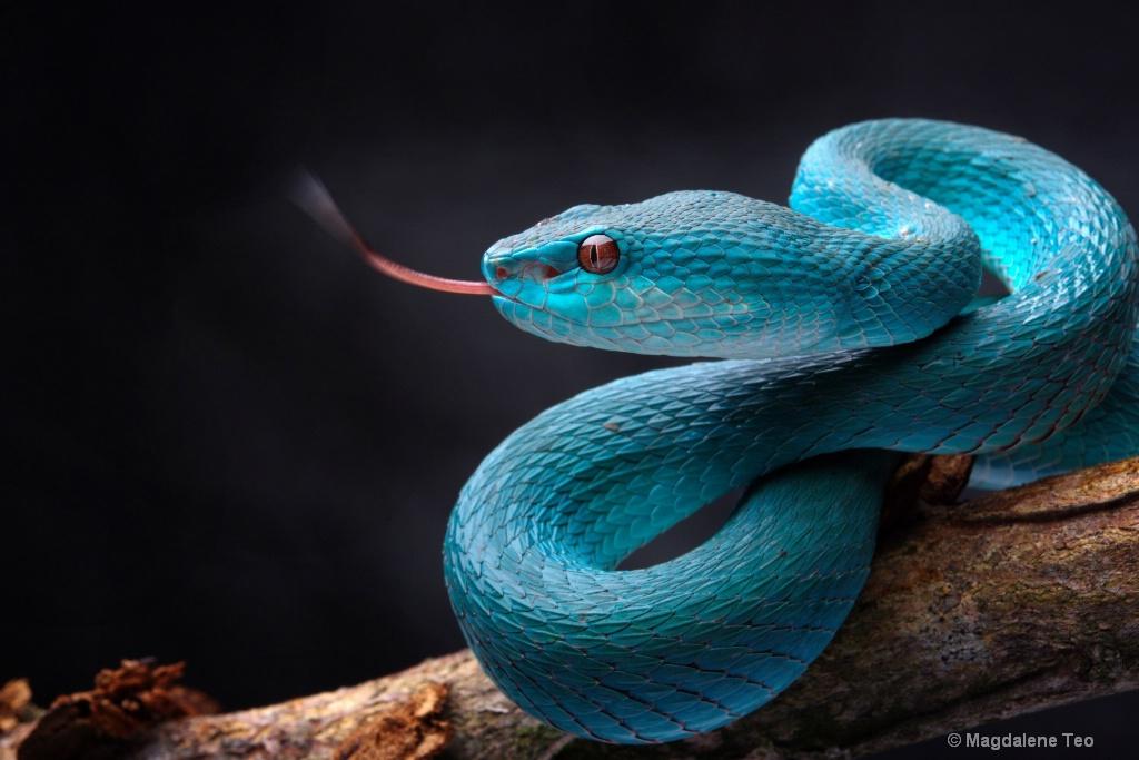 Snake in Studio - Pit Viper