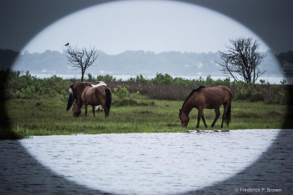 Wild Ponies Assateague Island MD-1-1