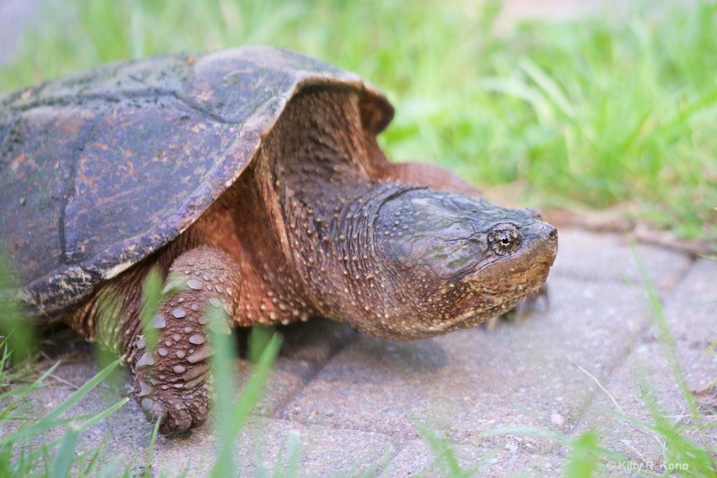 Big Bad Snapping Turtle