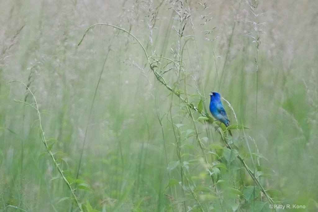 Indigo Bunting Calling all the Single Ladies