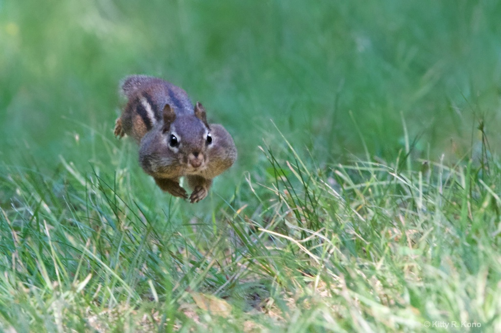 Another View of the Chipmunk in Mid Air