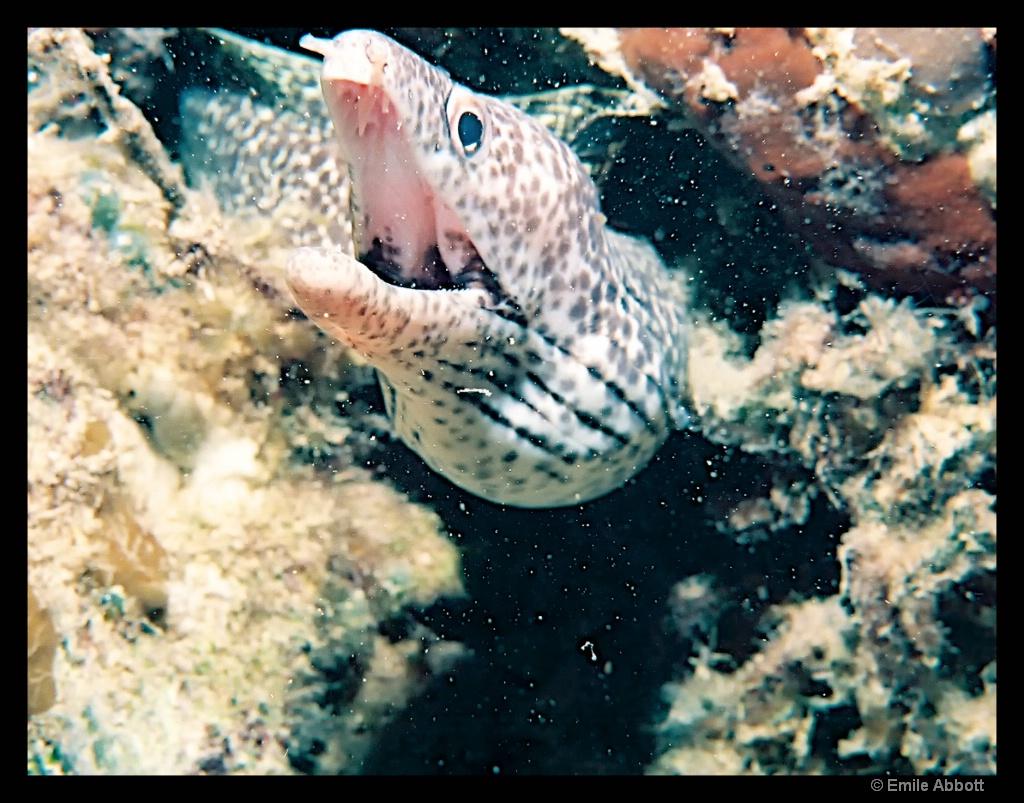 Morey eel.