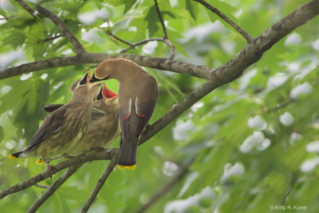 Cedar Wax Wing and Her Babes
