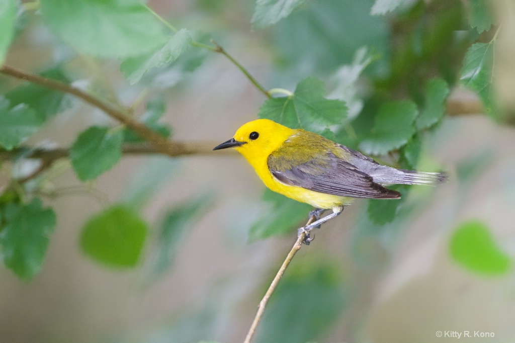 Prothonotary Warbler at John Heinz
