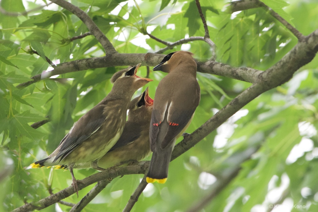 The Cedar Waxwings