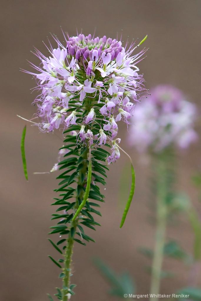 Bee Weed U1A1795 - 1
